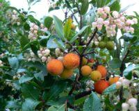 Harilik maasikapuu (Arbutus unedo)