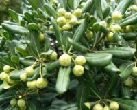 Jaapani vaiguseemnik (Pittosporum tobira)