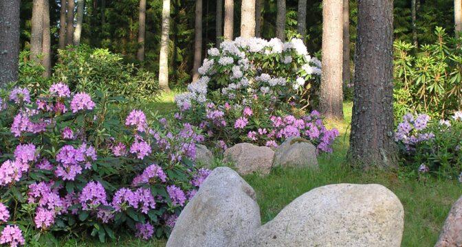 Rododendronid ja Marjasoo talu